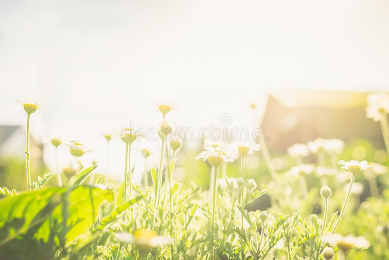 Buskar med färsk vit kamomill på en grön gräs eller gräs Landsbygdsblommor i det fria utrymmet Selektivt fokus royaltyfria bilder