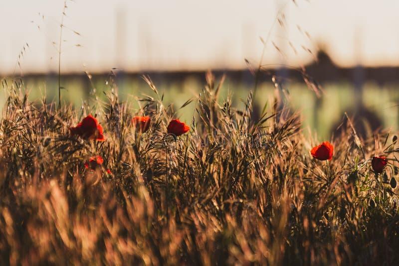 Stängning av ett fält av vallmo i ett gyllene källsolnedgång Vanlig vårbild i fältet Springtime fotografering för bildbyråer