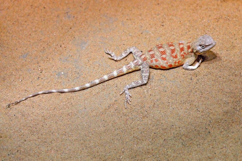 E Reptile de l'habitat de d?sert de nature r image stock