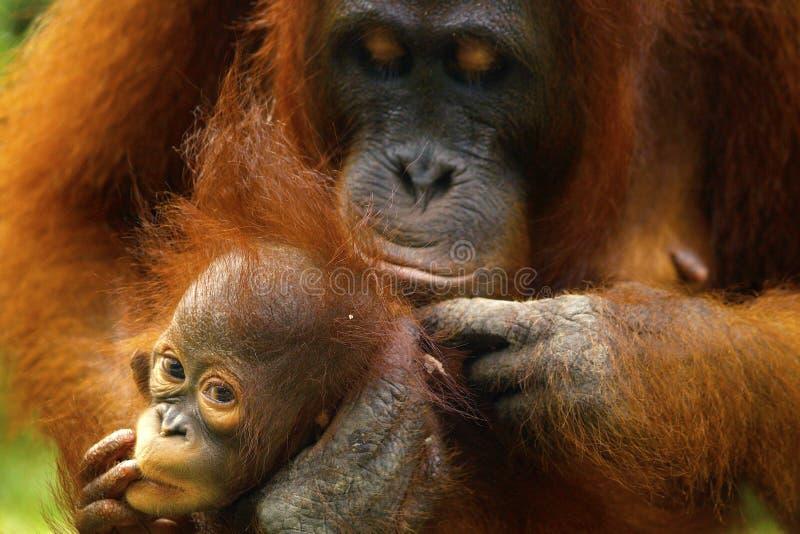 ?e?ski orangutan z jej dzieckiem obrazy royalty free