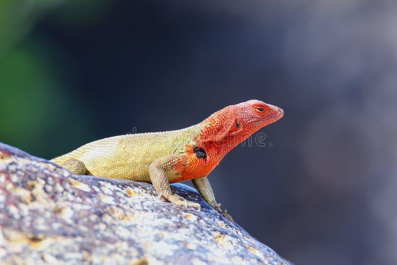 ?e?skiego kapiszonu lawowa jaszczurka na Espanola wyspie, Galapagos park narodowy, Ekwador obrazy royalty free