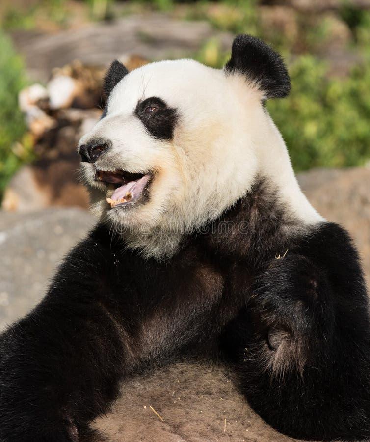 E St?ng sig upp av den j?tte- gulliga pandan med ljusa bl?tiror som ler och vilar p? royaltyfri foto