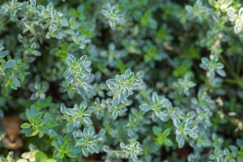 E Thymusdrüsencitriodorus oder -zitronenthymian oder Zitrusfruchtthymian lizenzfreie stockbilder