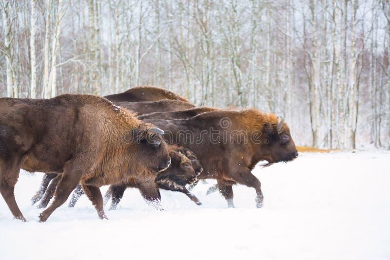 E Troupeau de bison européen d'Aurochs, Bison Bonasus Habitat de nature selec photographie stock