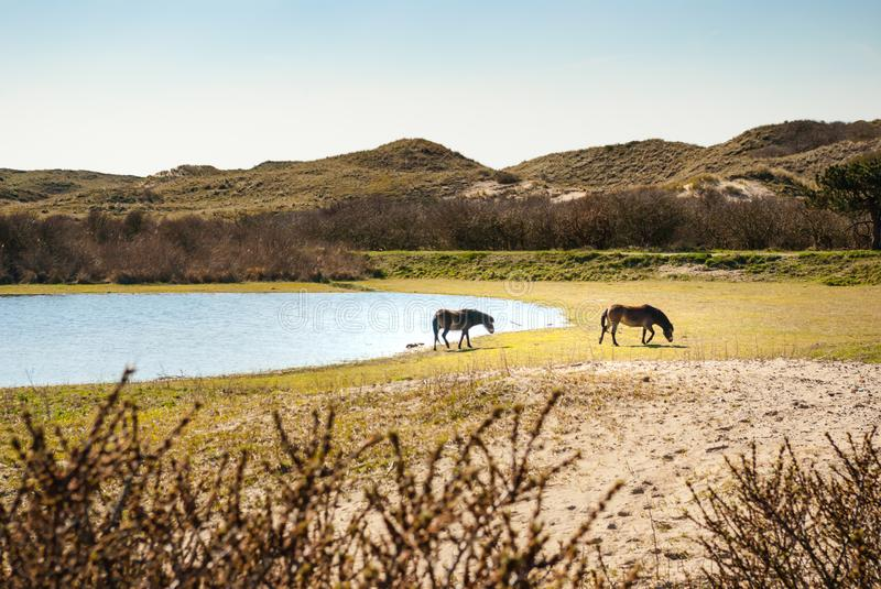 Two wild Konik horses in the dunes at the edge of a seep. E. Two wild Konik horses in the dunes at the edge of a seep. Two horses walking away from a seep, a stock photography