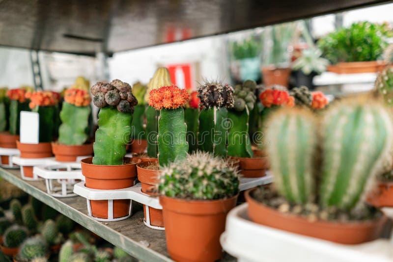 E Viele verschiedenen Kakteen in den Blument?pfen im Blumenspeicher auf den Regalen von stockfoto