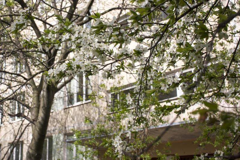 E Weiße Blumen eines Apfelbaums oder der Kirsche auf einem Hintergrund von lizenzfreie stockfotos