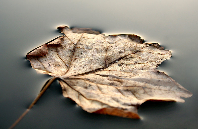 Eaf in lake. Leaf in lake after winter stock photo