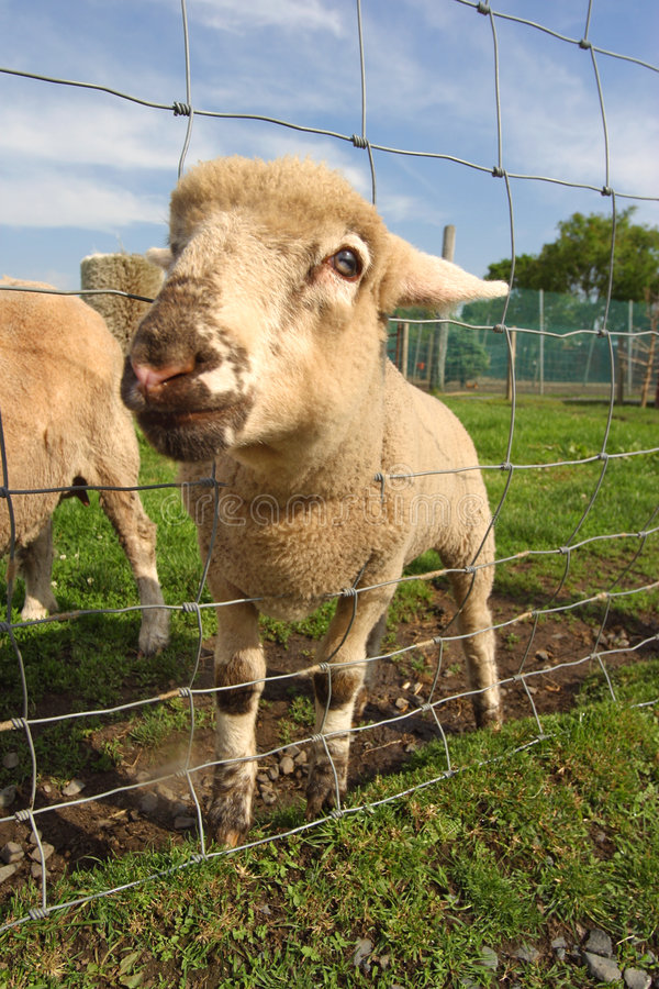 Download Eager  funny little lamb stock photo. Image of ideas, animal - 2526212