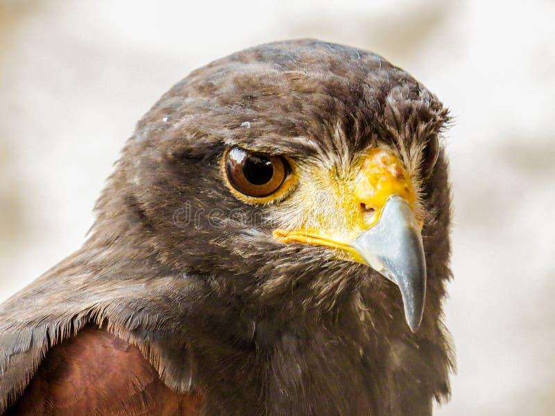Eagle à Trasmoz, Aragon Espagne photo stock