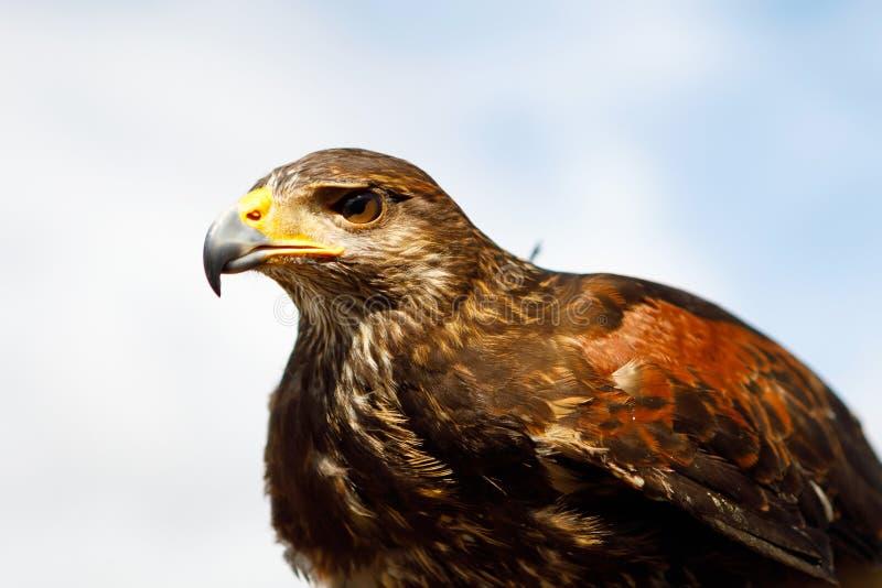 Eagle était perché sur la main de l'homme images libres de droits