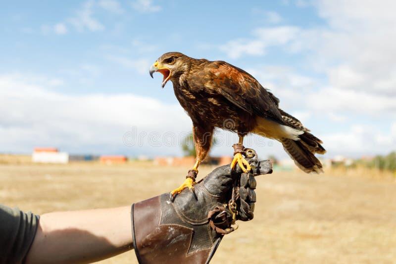 Eagle était perché sur la main de l'homme photos libres de droits