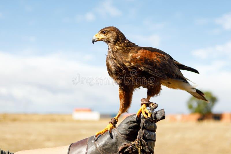 Eagle était perché sur la main de l'homme photo stock