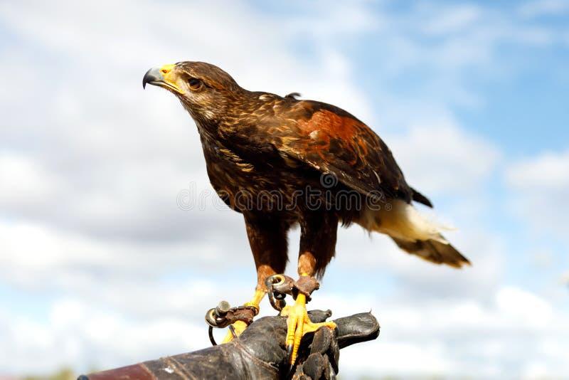 Eagle était perché sur la main de l'homme photographie stock