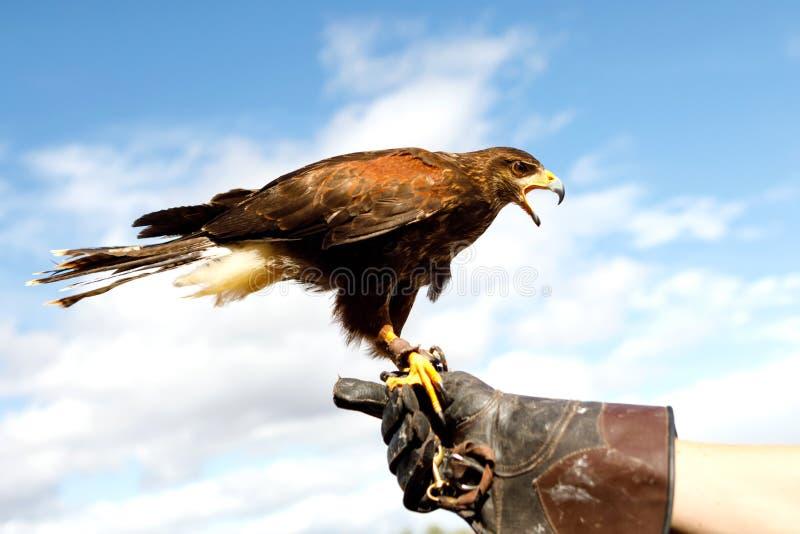 Eagle était perché sur la main de l'homme photographie stock libre de droits