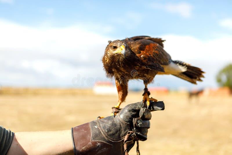 Eagle était perché sur la main de l'homme image libre de droits
