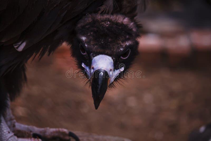 Eagle ögonkast, stående, selektiv fokus arkivfoton