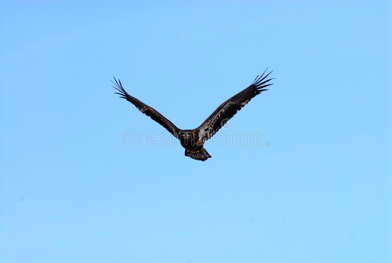 Download Eagle-06 stock image. Image of beak, bird, looking, feathers - 10197469