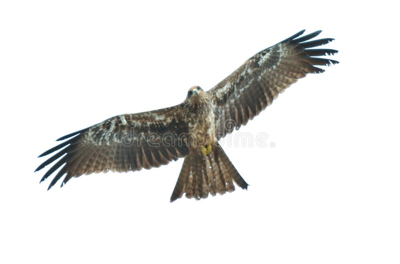 Eagle photo stock