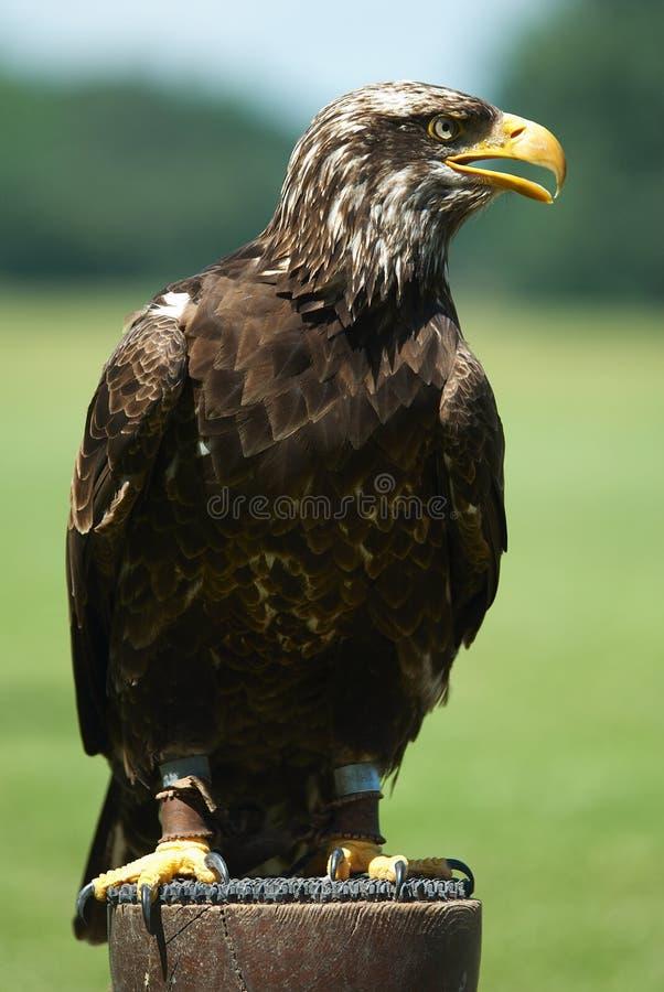 Eagle. Sitting eagle stock image