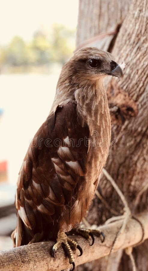 Eagle photo libre de droits