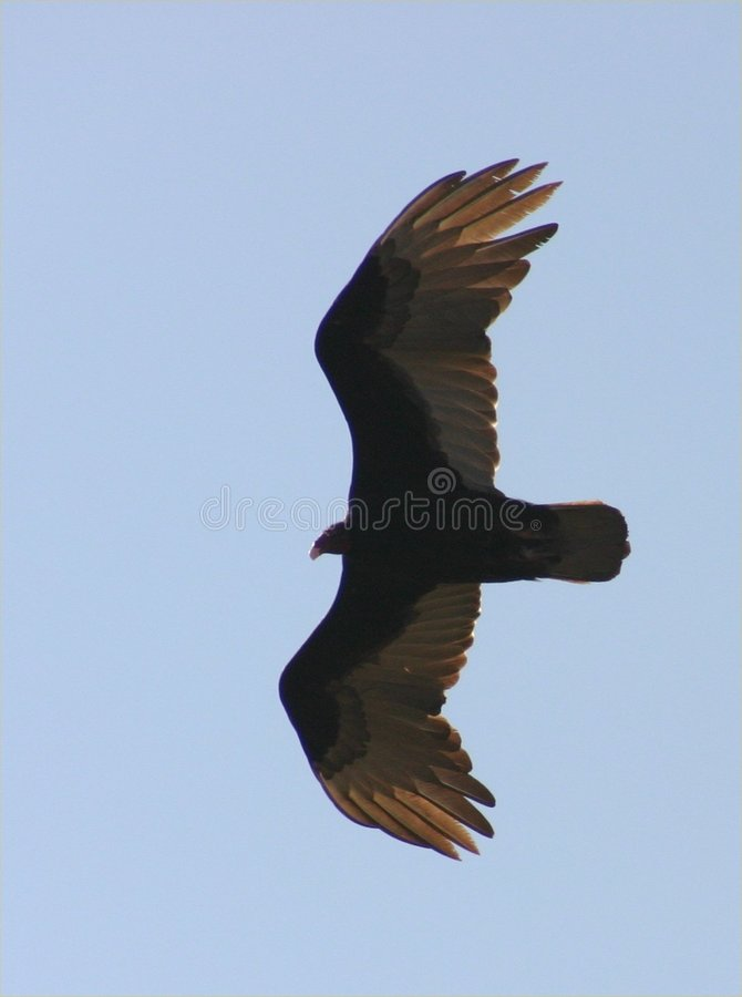 Download Eagle stock image. Image of flying, wing, cuba, blue, outstretched - 118743