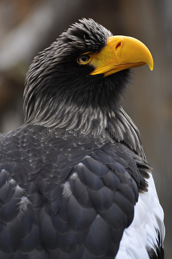 Download EAGLE stock photo. Image of squawk, eagle, face, feathers - 13541390