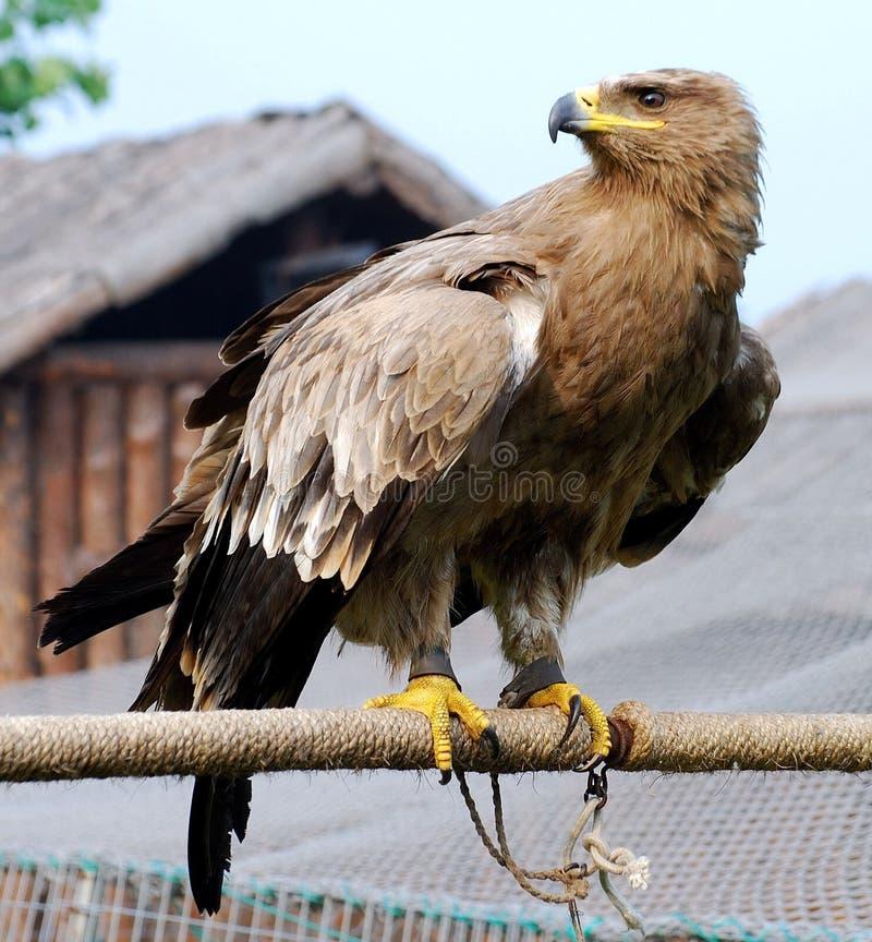 Free Eagle Royalty Free Stock Photo - 13707735
