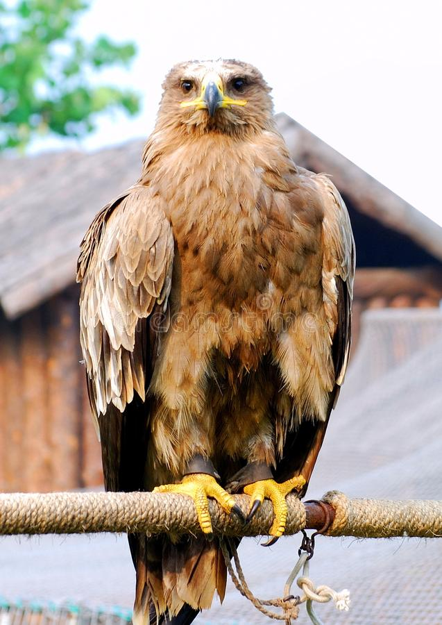 Download Eagle stock photo. Image of close, wild, front, outdoor - 13950662