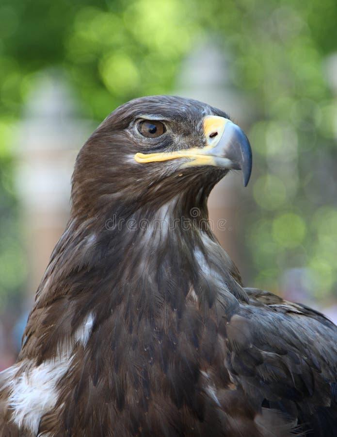 Free Eagle Stock Image - 16512291