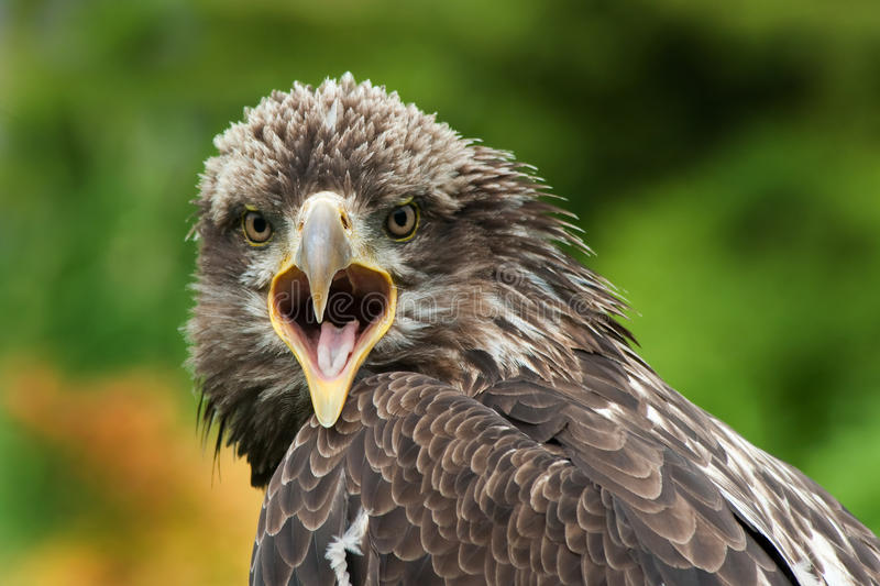 Download Eagle stock photo. Image of falconry, open, hawk, wildlife - 17792606