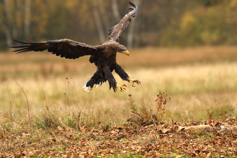 Eagle. An eagle hitting a prey royalty free stock photography