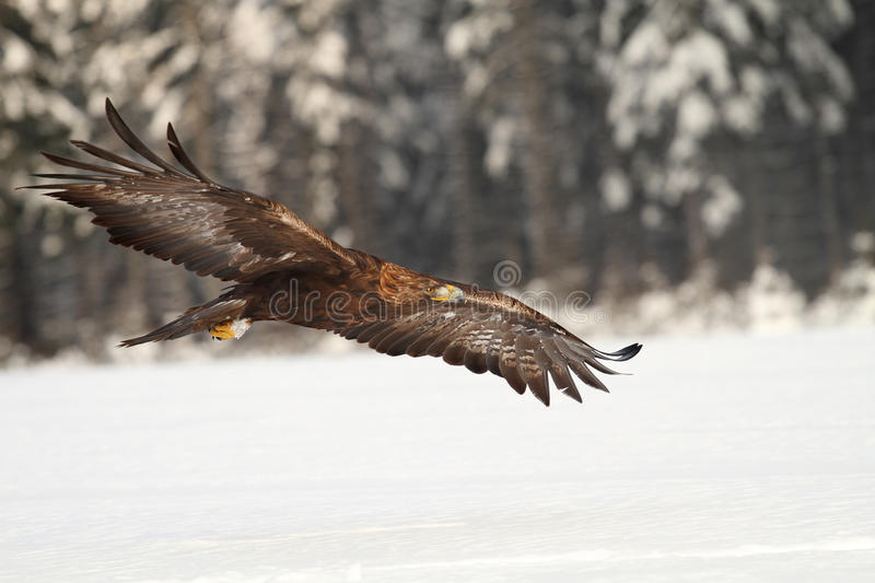 Eagle. An eagle flying over the winter's field royalty free stock images
