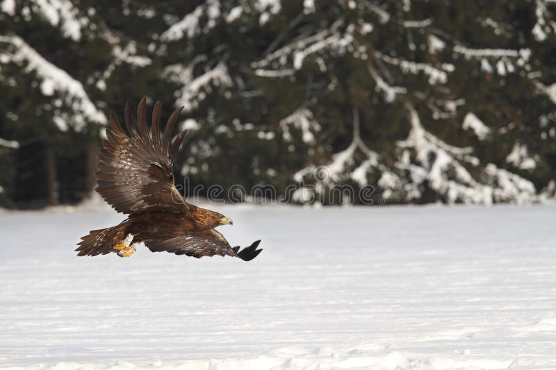 Eagle. An eagle flying over the winter's field stock photos