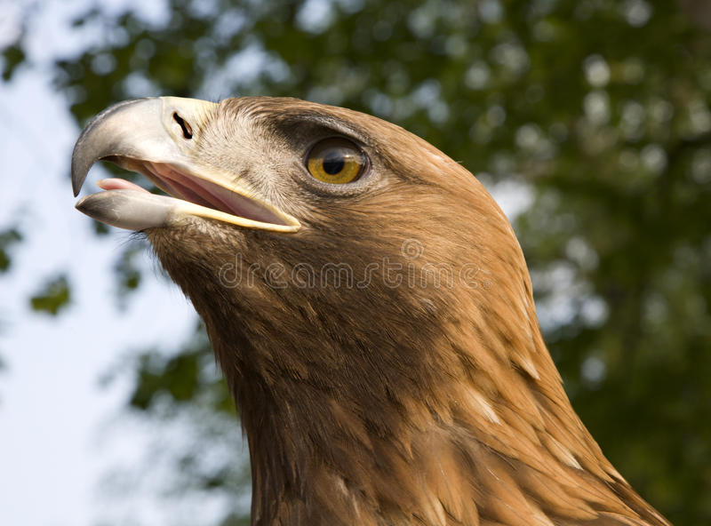 Download Eagle stock photo. Image of head, bird, shark, caput - 19360242