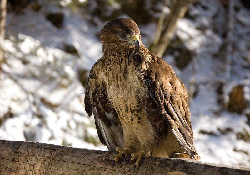 Download Eagle stock photo. Image of fast, colorful, predators - 19439028