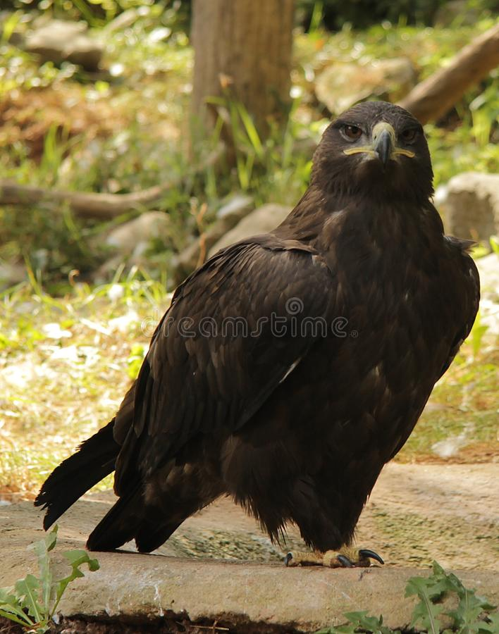 Download Eagle stock image. Image of eagle, beak, forest, looking - 20997349