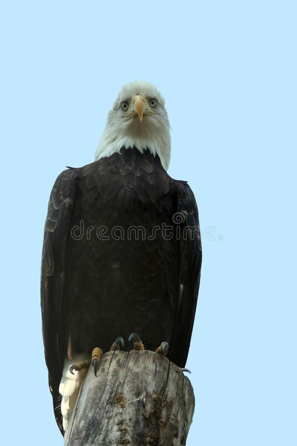 Eagle Fotografie Stock