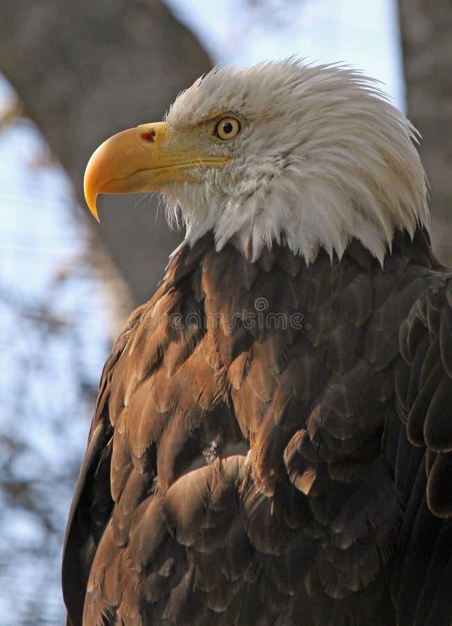 Eagle stock photography