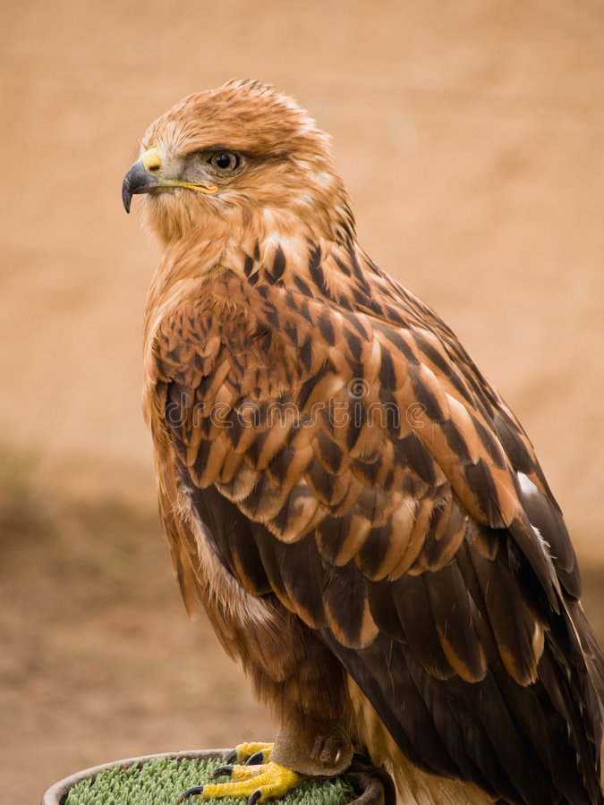 Eagle. Portrait on brown background royalty free stock photo