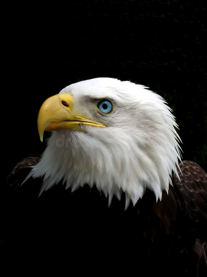 Free Eagle Stock Photography - 282502
