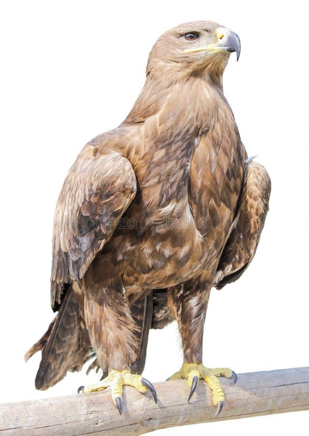 Eagle imagem de stock