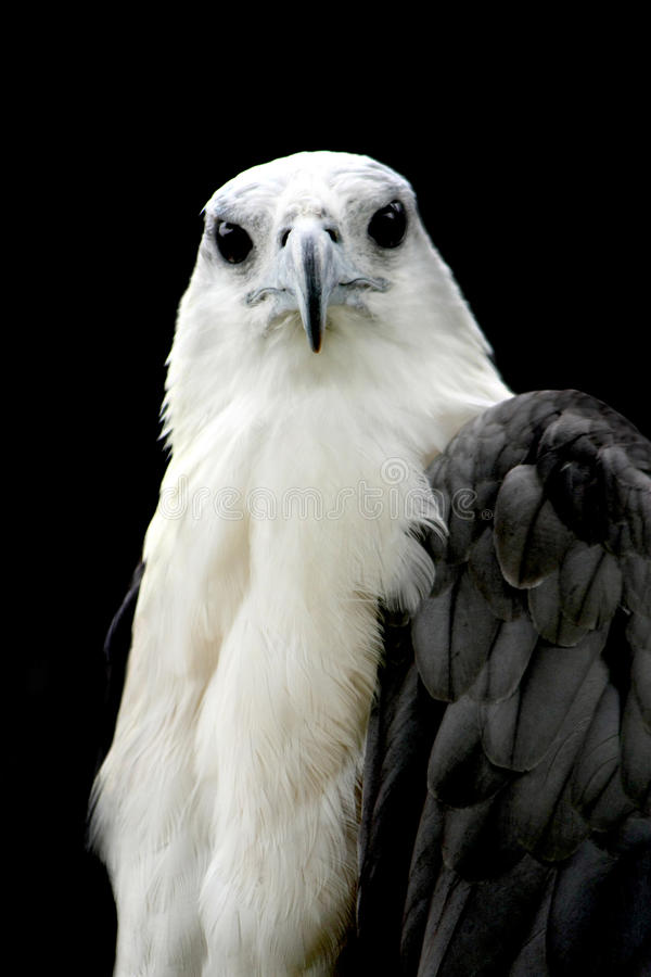 Eagle royaltyfria foton