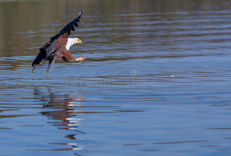 Eagle foto de stock royalty free