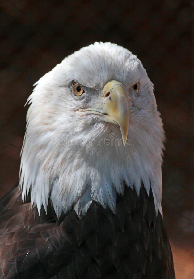 Eagle lizenzfreie stockbilder