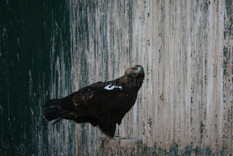 Eagle stock afbeeldingen