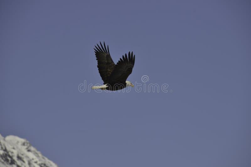 Download Eagle imagen de archivo. Imagen de vuelo, pájaro, calvo - 42436567