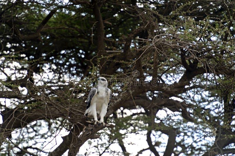 Download Eagle foto de archivo. Imagen de presa, temas, kenia - 44851944