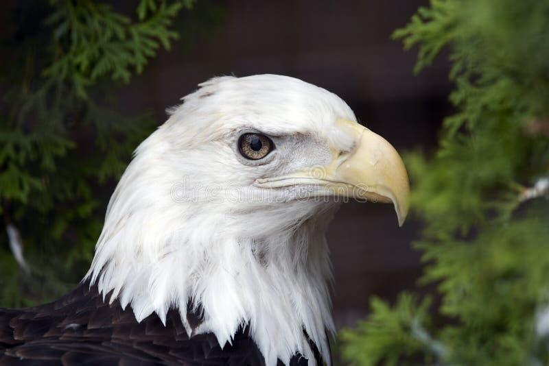 Download Eagle stock photo. Image of nest, bird, eagle, hight, royal - 471848