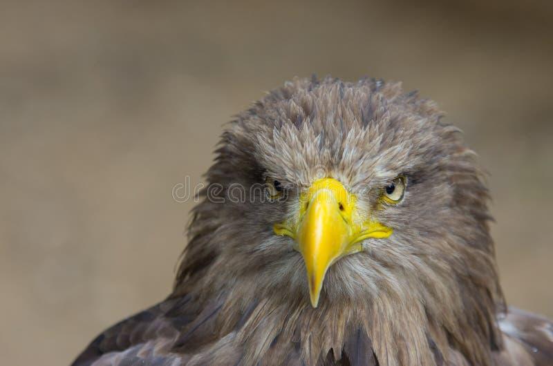 Eagle royalty-vrije stock afbeelding